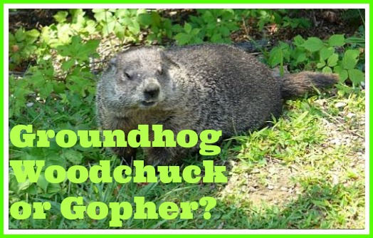 groundhog woodchuck or gopher