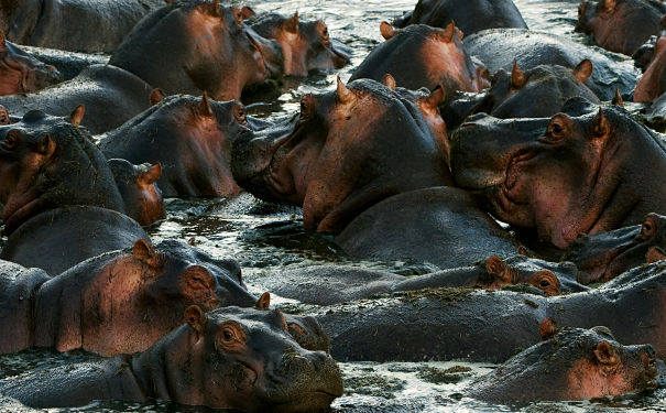 hippos wading