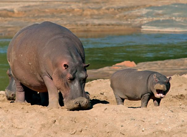 happy hippo mother and baby