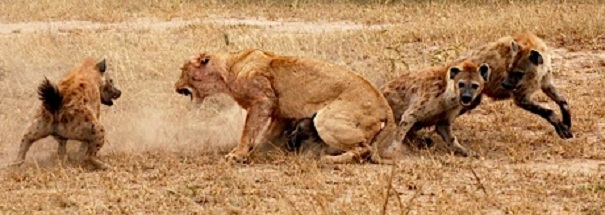 hyenas tormenting lion