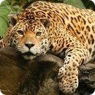jaguar facts