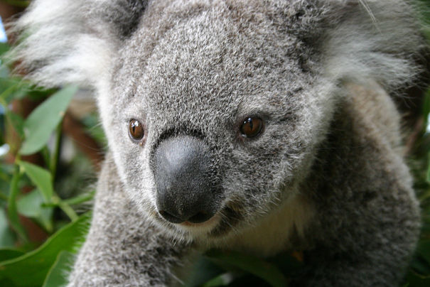 closeup of a koala bear