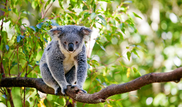 koala bear in tree
