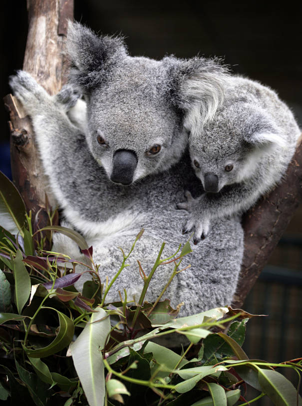koala bear mother and baby