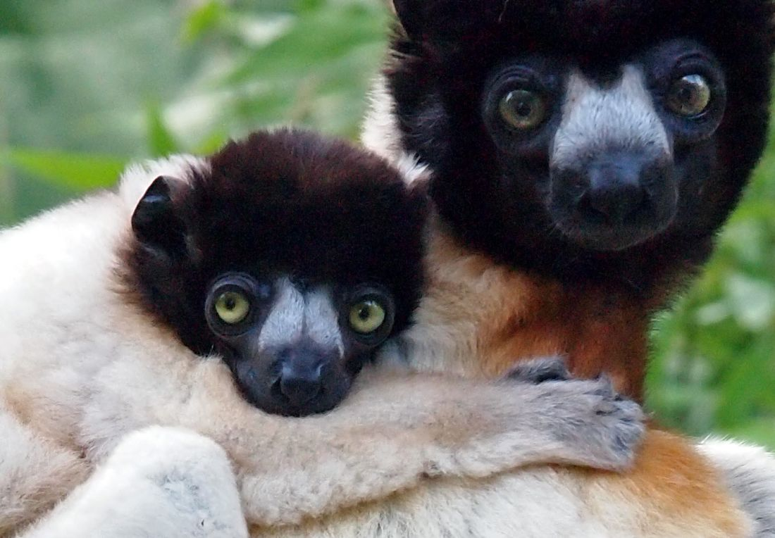 crowned Sifaka mother and baby