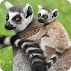 lemur facts