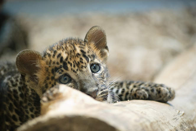 baby leopard close-up