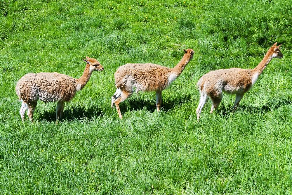 wild guanaco in the Andes mountains