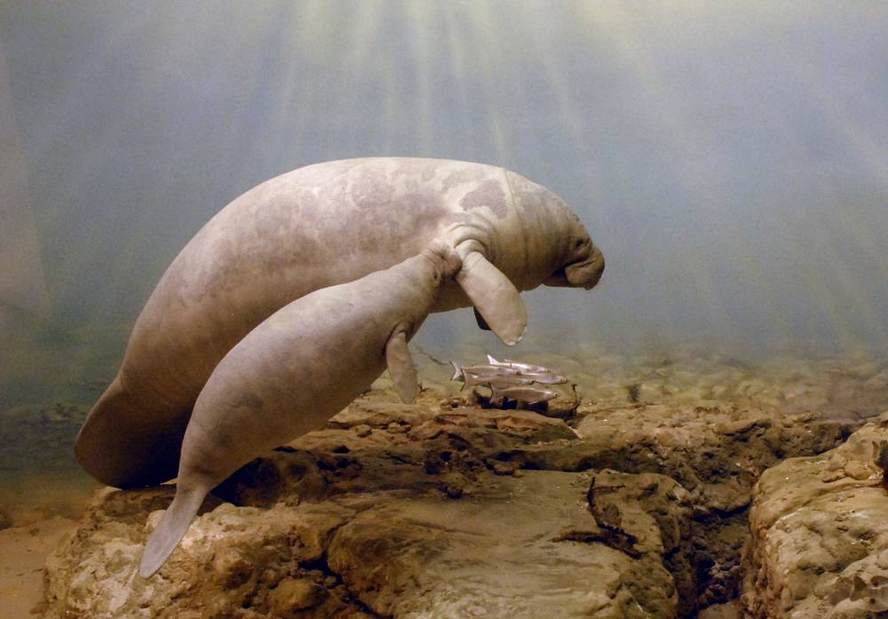 manatee mother and baby