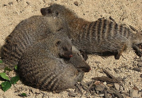 hyena species