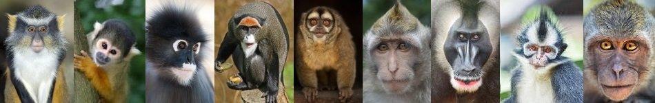 the many faces of monkeys