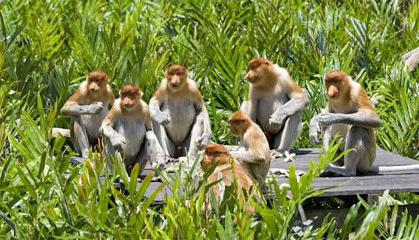 Proboscis monkeys - Old World