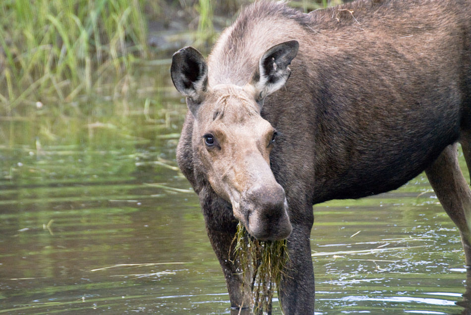 moose cow eating pond weed