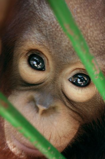 portrait of a Orangutan