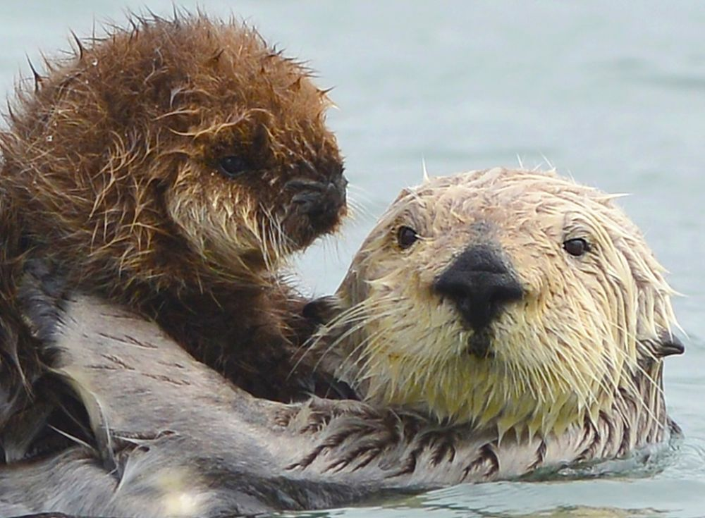 sea otter mother and baby