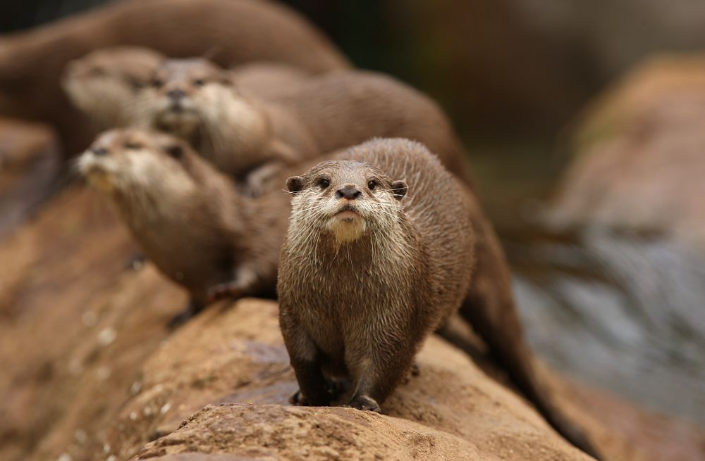 river otter with romp