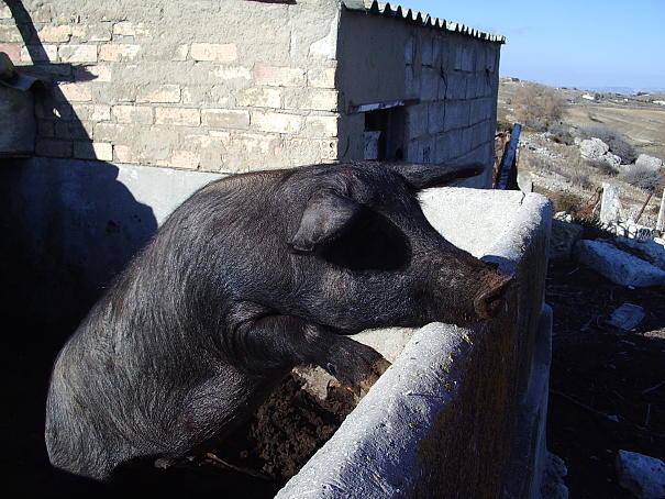 pig in the yard