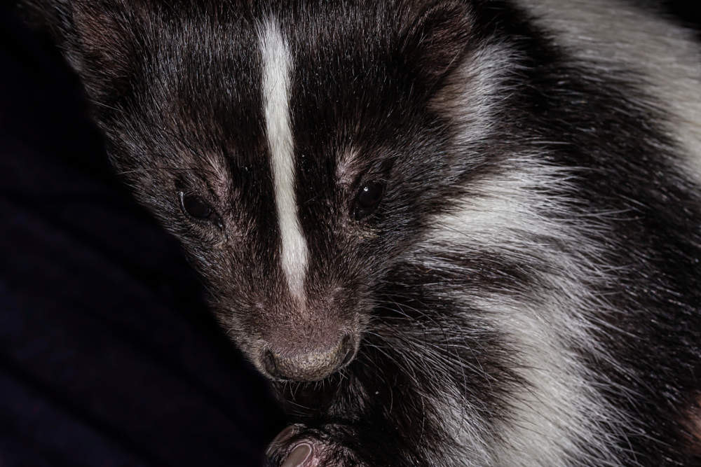 skunk extreme close-up