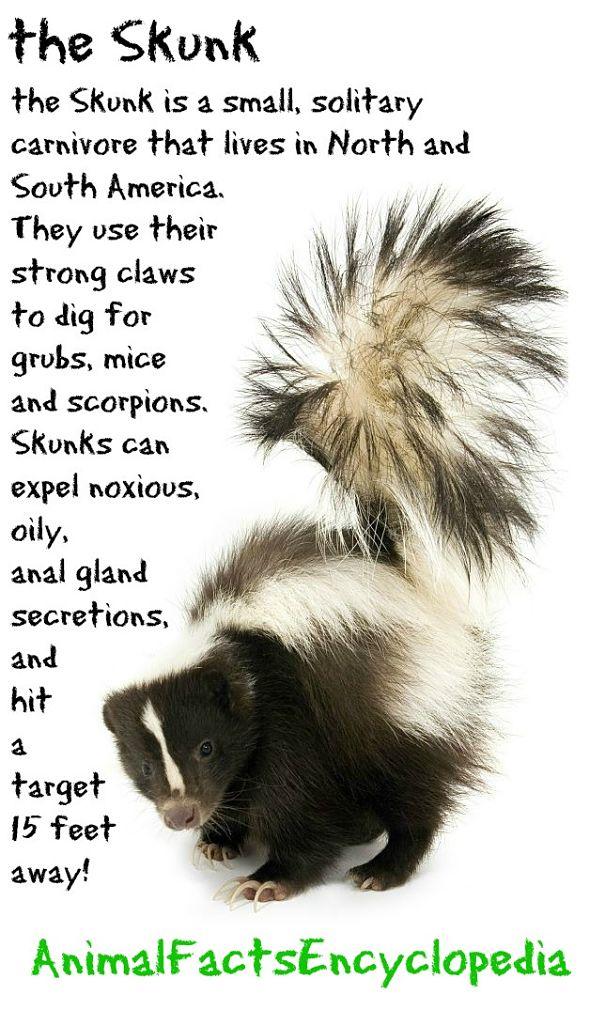 Skunk Facts - Animal Facts Encyclopedia