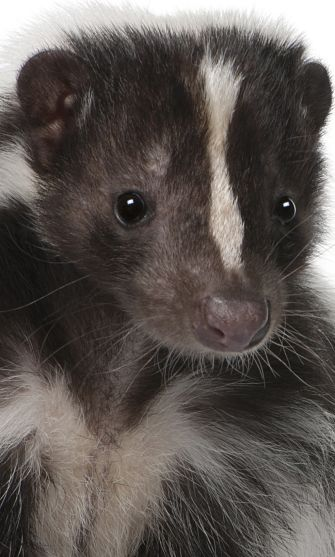 Skunk Portrait