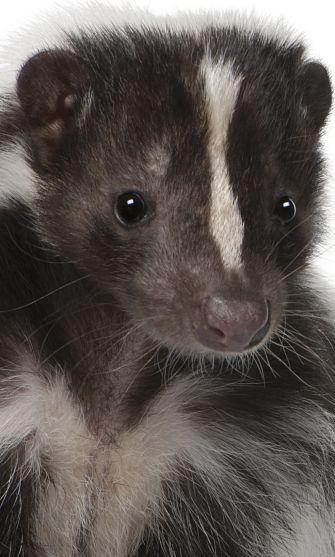 Skunk Portrait