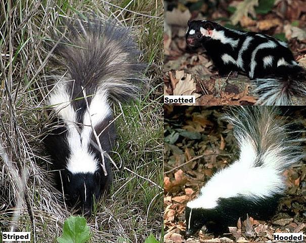 skunk species