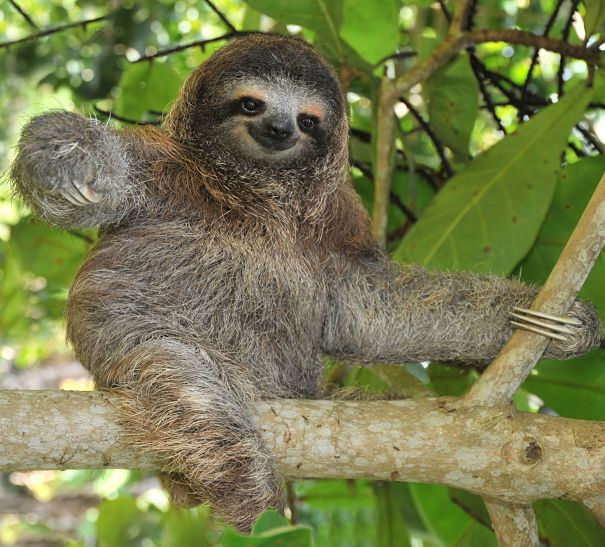 Sloth Facts - Animal Facts Encyclopedia