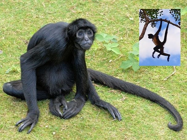 Spider Monkey - New World