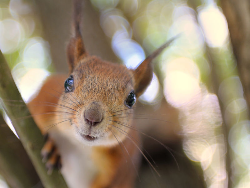 squirrel extreme close-up