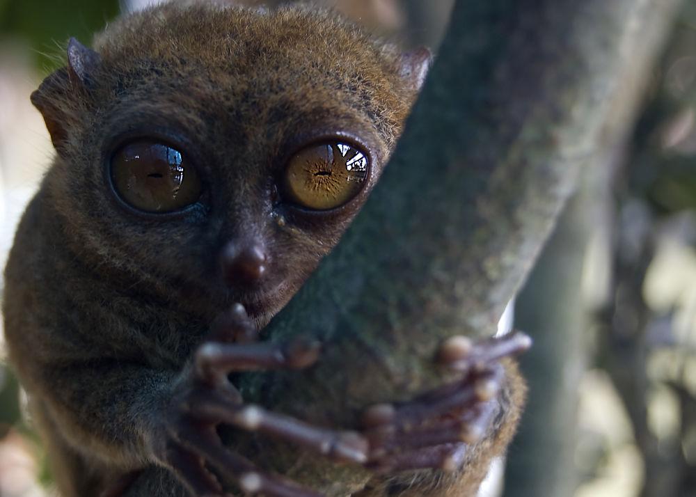 cool tarsier