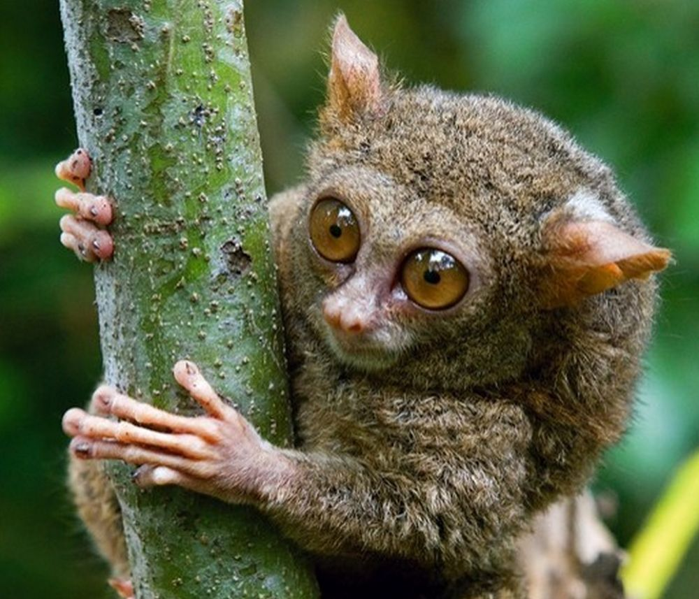 Phillipine tarsier close up