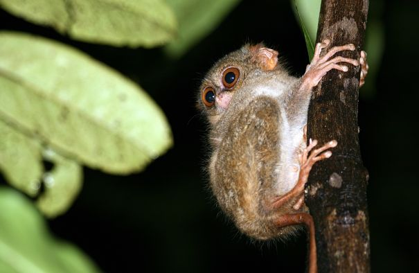 tarsier with pupils dilated