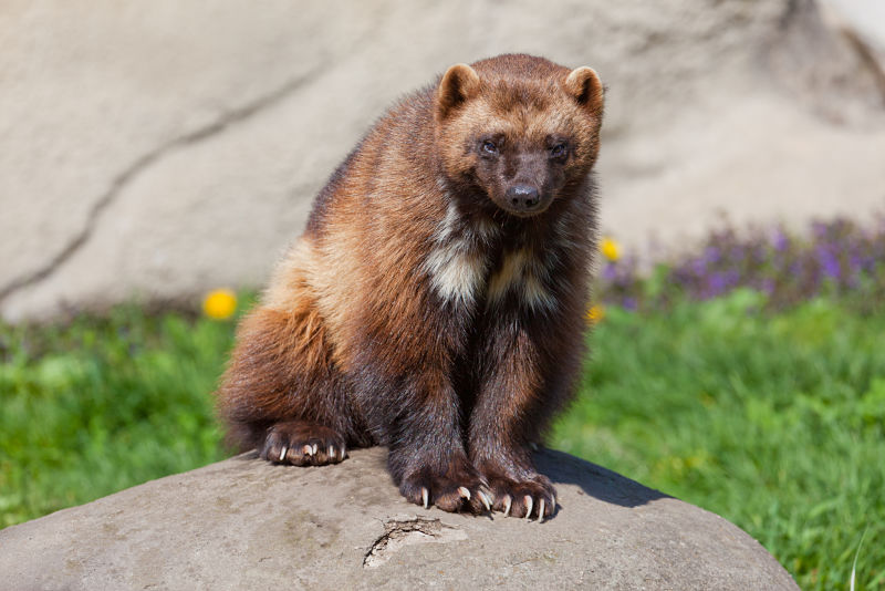 wolverine with huge claws