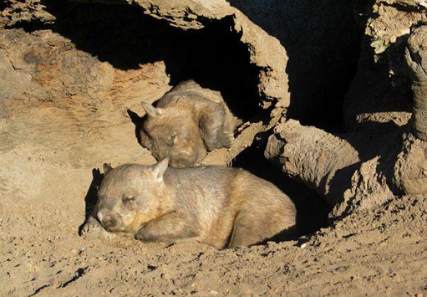 wombats sleeping