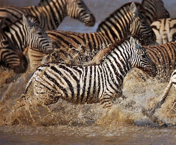 baby zebra crossing river