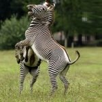 grevy's zebras fighting