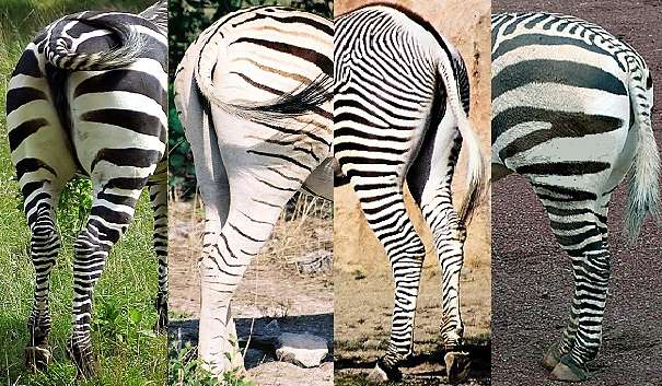 Zebra Facts - Animal Facts Encyclopedia